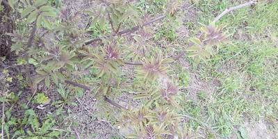 Это неожиданно выросло рядом со смородиной. Подскажите, что это за растение?