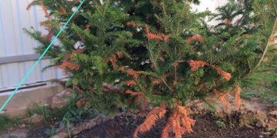 Желтеет сибирская пихта. Что делать и чем помочь дереву?