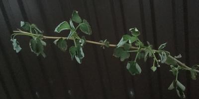 У малины листья стали вялыми и начали закручиваться. Что делать?