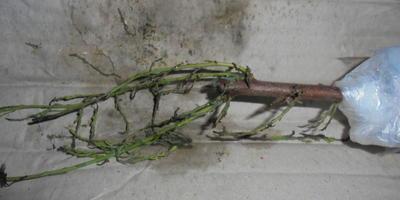 Как правильно посадить черенки бисерника (тамарикса)?