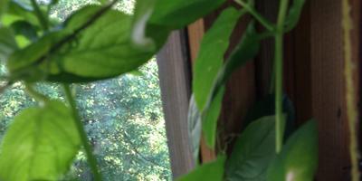 У кобеи появились сухие белые пятна на листьях. Что делать?