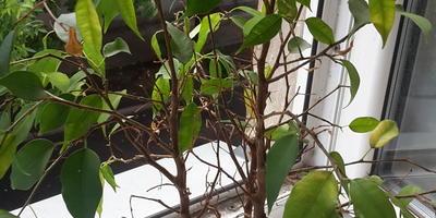 Что это за растение и почему у него желтеют и опадают листья?