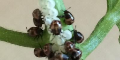 Нашли на помидорах непонятных насекомых. Что это может быть и как бороться?
