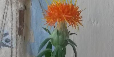 Подскажите, что за цветок?
