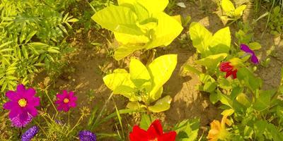 Сеяла петунию, а выросло это. Как называется цветок?