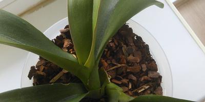 Две орхидеи растут вместе, из одной розетки. Нужно ли что-то предпринимать?
