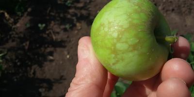 Помогите спасти яблони