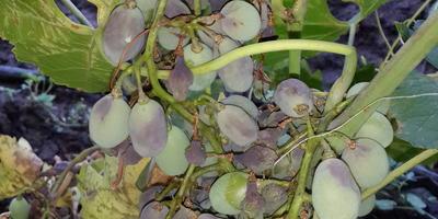 Помогите определить заболевание винограда и чем его лечить