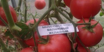 """Самый большой помидор от НПО """"Сады России"""""""