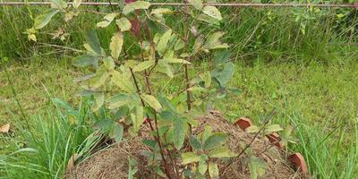 Чем болеют (и болеют ли) жимолость, черная смородина и малина?
