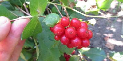 Съедобны ли ягоды у нашей жимолости?