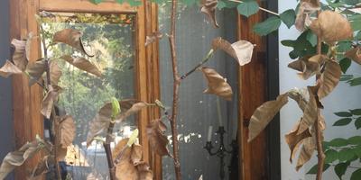 У магнолии высохли листья, но но есть молодые почки и свежие листики. Подскажите, пожалуйста, что делать?