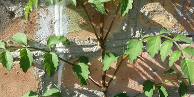 Что это за растение собирается расти у меня по стене?