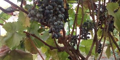 На гроздьях винограда появился налет. Как лечить?