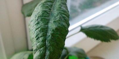 Почему у молодой яблони листья от макушки стали бугристыми и сворачиваются в трубочку?