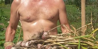 Оренбург, 28 июля 2016, плюс 37°C,  урожай чеснока