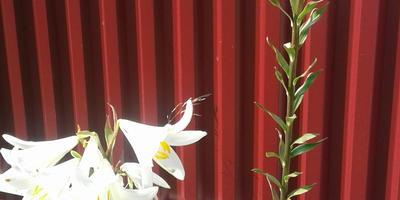 Помогите определить сорт лилий