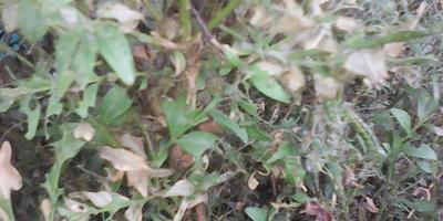 Самшит затянуло паутиной, листья осыпаются. Что можно сделать?