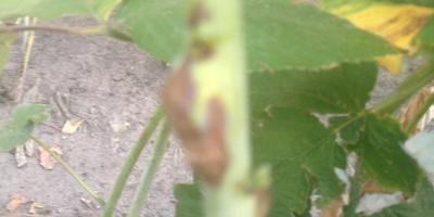 На стволах малины уже второй сезон появляются наросты. Что делать?