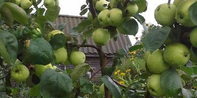 Моя яблоня