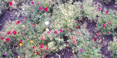 Как называется это растение? Можно ли его вырастить на балконе?