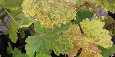 Виноград заболел, листья покрылись пятнами. Что это за болезнь? Как лечить?