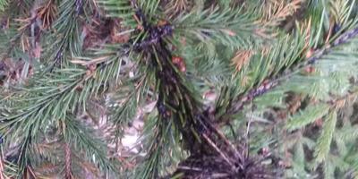 Помогите определить, что с елкой?