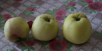 Помогите определить сорт яблони по описанию