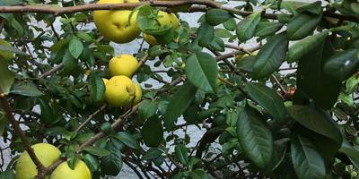 Помогите, пожалуйста, определить фрукт или сорт