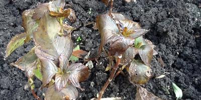 Как подготовить гортензию к зиме в Краснодарском крае, если на ней почки? Можно ли обрезать?