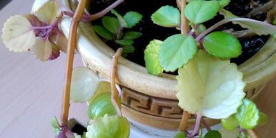 Желтеют листья комнатного растения. Помогите спасти