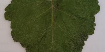 Какому дереву принадлежит лист?