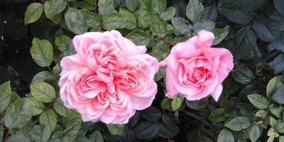 Кто знает этот сорт розы?
