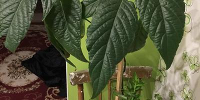 Помогите определить название растения. Почему после пересадки завяли листочки?