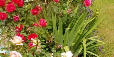 Что делать, чтобы стебель розы Флорибунда стал более прочным, сильным и держал бутон?