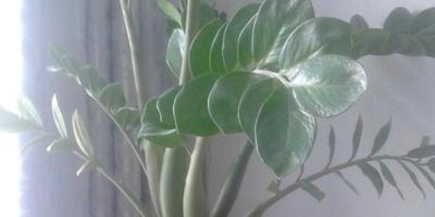 Почему на замиокулькасе начали желтеть листья? Можно ли его рассадить?