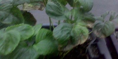 Почему ягоды клубники в зимней теплице неровные, а листья светлеют?