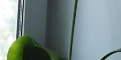 Как называется комнатное растение?