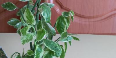 Как называется растение и почему оно вянет? Как за ним ухаживать?