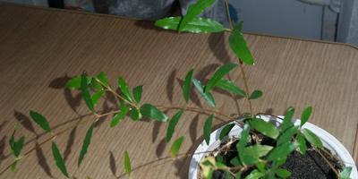 Помогите, пожалуйста, определить растение
