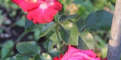 Почему серединка розы не прокрашена?