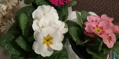 Как называются данные цветы?