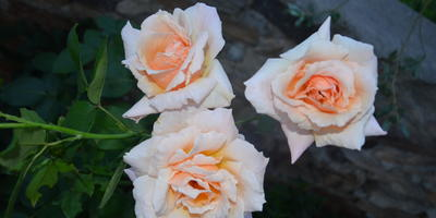 Помогите определить сорт розы
