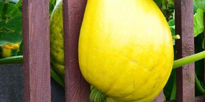 ТЫквочка - чудо  в два обхвата, витаминами богата....