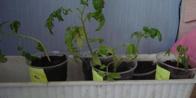Что сгубило рассаду томатов?