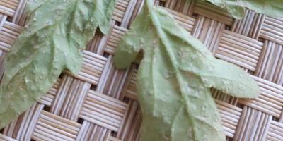 На листьях рассады помидоров появляются белые точки, после чего лист засыхает. Как помочь рассаде?