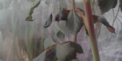 Почему плетистая роза опустила листья? Что делать?