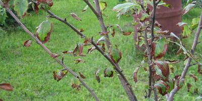 Помогите понять, что происходит с яблоней?