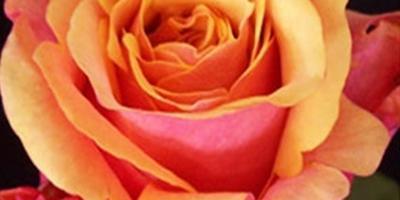Помогите избавиться от трипса на розах