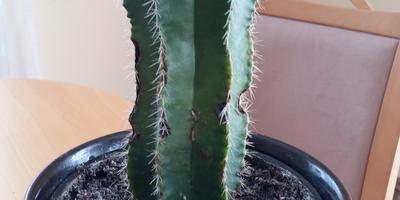 Подскажите, пожалуйста, название кактуса